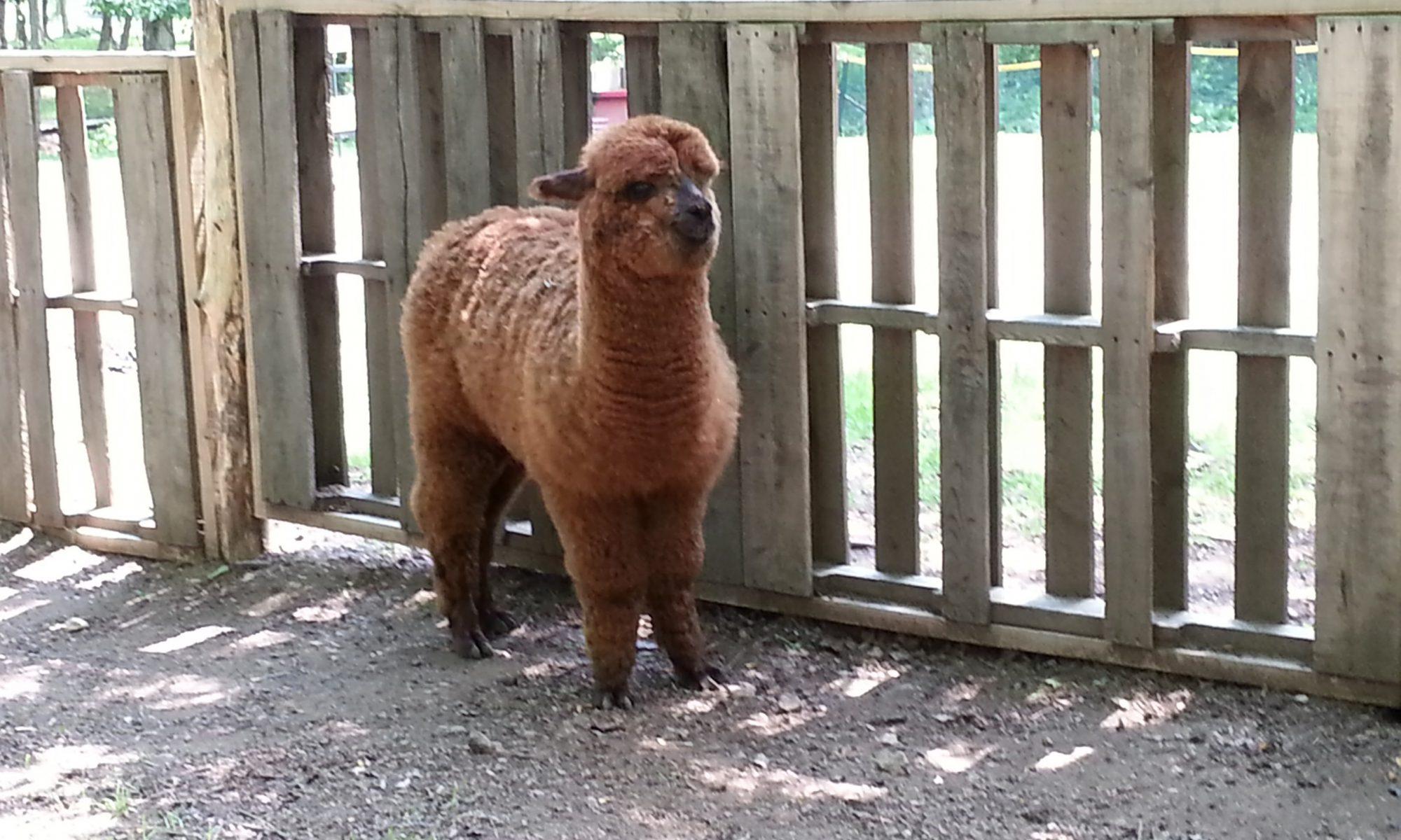 alpaca yearling barnyard