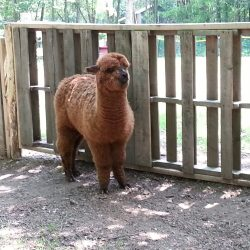 alpaca yearling barnyard
