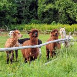 alpacas front field fence