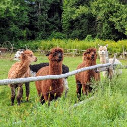 alpacas front field fence