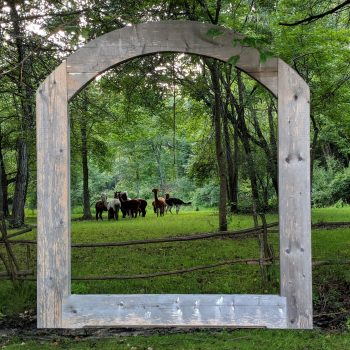 alpacas grazing framed