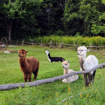 alpacas watching street